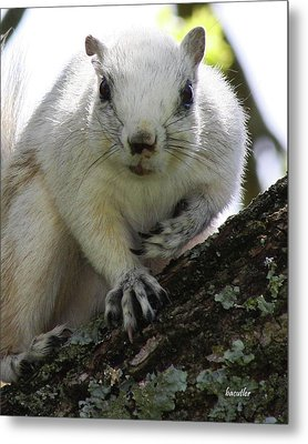 Mr. Inquisitive I  Metal Print by Betsy C Knapp