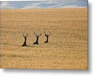 Mule Deer In Wheat Field Metal Print by Mark Duffy