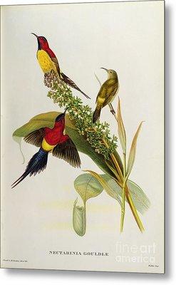 Nectarinia Gouldae Metal Print by John Gould