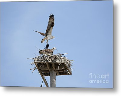 Nesting Osprey In New England Metal Print by Erin Paul Donovan