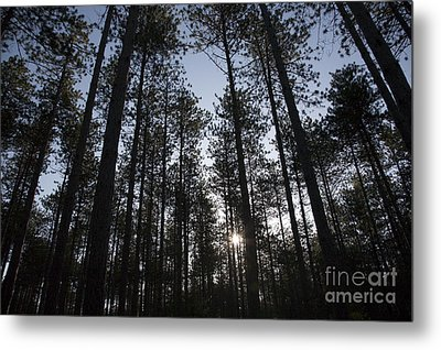 New England Red Pine Forest Metal Print by Erin Paul Donovan