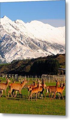 New Zealand Deer 3497 Metal Print by PhotohogDesigns