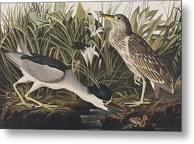 Night Heron Or Qua Bird Metal Print by John James Audubon