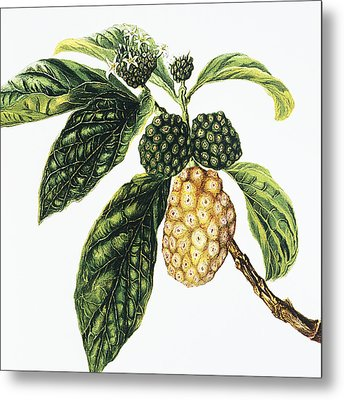 Noni Fruit Metal Print by Hawaiian Legacy Archive - Printscapes