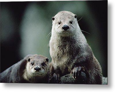 North American River Otter Lontra Metal Print by Gerry Ellis