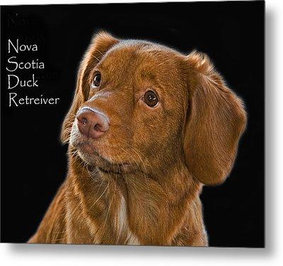 Nova Scotia Duck Retreiver Metal Print by Larry Linton