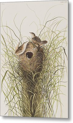 Nuttall's Lesser-marsh Wren  Metal Print by John James Audubon