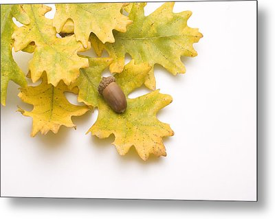 Oak Leaves And Acorns Metal Print by Utah Images