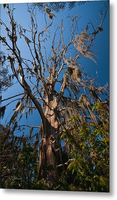 Old Cypress Metal Print by Christopher Holmes