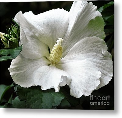 Old Fashioned Flower Metal Print by Jan Gelders