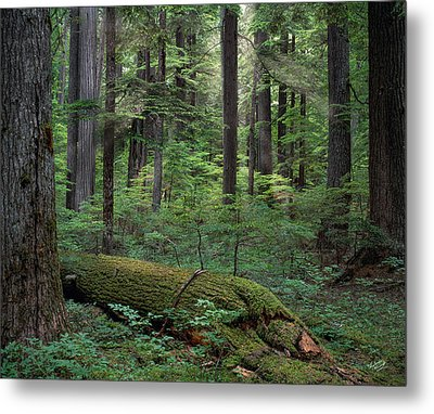 Old Growth Forest Metal Print by Leland D Howard