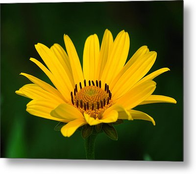 One Daisy Metal Print by Juergen Roth