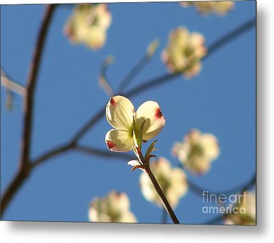 One Dogwood Blooms Metal Print by Laura Brightwood