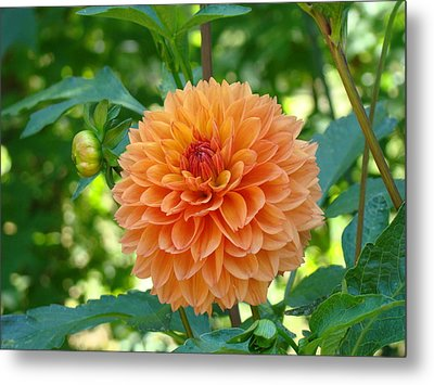 Orange Dahlia Master Gardeners Art Collection Baslee Troutman Metal Print by Baslee Troutman