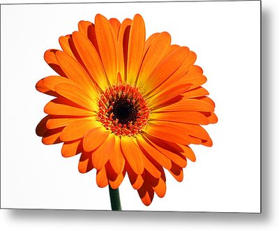 Orange Gerber Daisy Perfection Metal Print by Juergen Roth