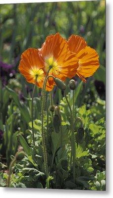 Orange Poppy Flower In The Dallas Metal Print by Richard Nowitz