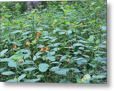 Missouri Orange Wildflower, Jewel Weed, Imaptiens Capensis Metal Print by Adam Long