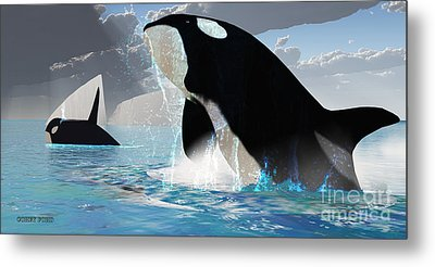 Orca Whales Metal Print by Corey Ford