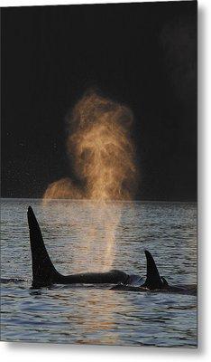 Orcas Ocinus Orca Spouting Alaska Metal Print by Hiroya Minakuchi