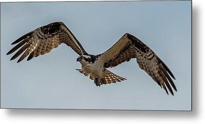 Osprey Flying Metal Print by Paul Freidlund