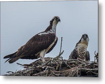 Osprey On A Nest Metal Print by Paul Freidlund