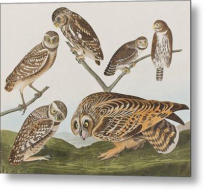 Owls Metal Print by John James Audubon
