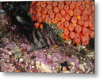 Panamic Fanged Blenny On Coral Reef Metal Print by James Forte