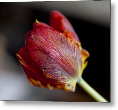Parrot Tulips 13 Metal Print by Robert Ullmann