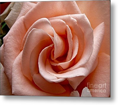 Peach-colored Rose Metal Print by Sean Griffin