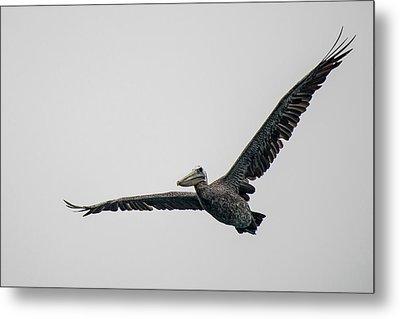 Pelican In Flight Metal Print by Bill Mock