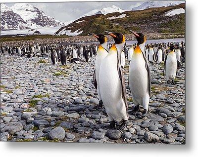 Penguins Of Salisbury Plain Metal Print by Karen Lunney