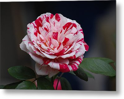 Peppermint Fantasy Metal Print by Helen Carson