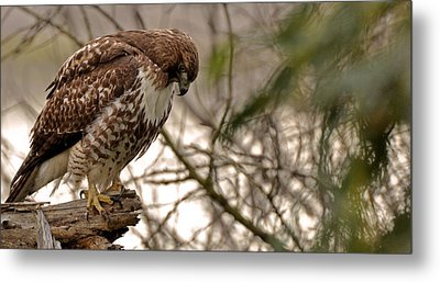 Perching Red Tail Hawk Metal Print by Matt MacMillan