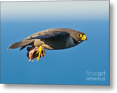 Peregrine Falcon 2 Metal Print by Michael  Nau