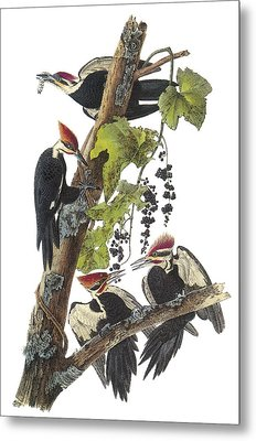 Pileated Woodpecker Metal Print by John James Audubon