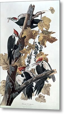 Pileated Woodpeckers Metal Print by John James Audubon