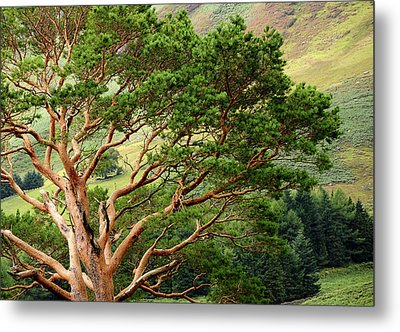 Pine Tree At Wicklow Mountains. Ireland Metal Print by Jenny Rainbow