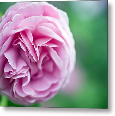 Pink Bourbon Rose Louise Odier Metal Print by Frank Tschakert