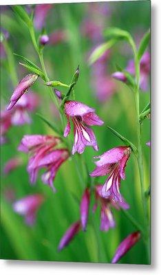 Pink Flowers Of Gladiolus Communis Metal Print by Frank Tschakert
