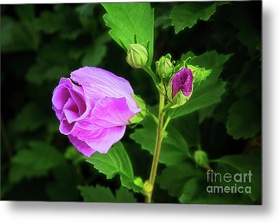 Pink Rose Of Sharon Metal Print by Sharon McConnell