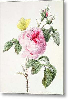 Pink Rose With Buds And A Brimstone Butterfly Metal Print by Louise DOrleans