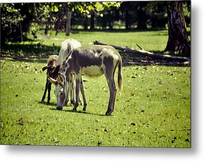 Pinto Donkey I Metal Print by Jan Amiss Photography
