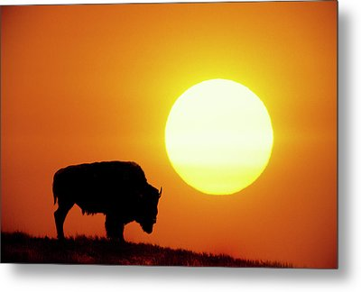 Plains Bison (bison Bison), Digital Composite Metal Print by Altrendo Nature
