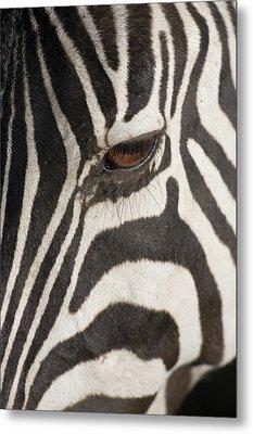 Plains Zebra (equus Burchelli), Close-up Of Eye Metal Print by Paul Souders