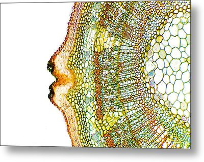 Plant Breathing Pore, Light Micrograph Metal Print by Dr Keith Wheeler