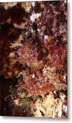 Poisnous Stone Fish, Scorpaena Mystes Metal Print by James Forte