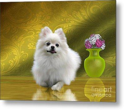 Pomeranian Dog Metal Print by Corey Ford