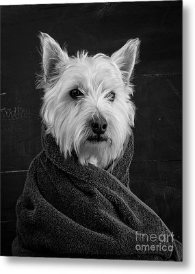 Portrait Of A Westie Dog Metal Print by Edward Fielding
