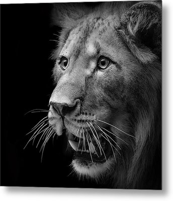Portrait Of Lion In Black And White II Metal Print by Lukas Holas