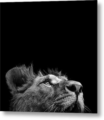 Portrait Of Lion In Black And White IIi Metal Print by Lukas Holas